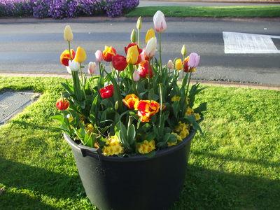Arawa Street resplendent with Tulips